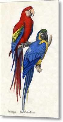 Aracangua And Blue And Yellow Macaw Metal Print