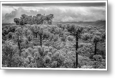 Araucaria Angustifolia-campos Do Jordao-sp Metal Print
