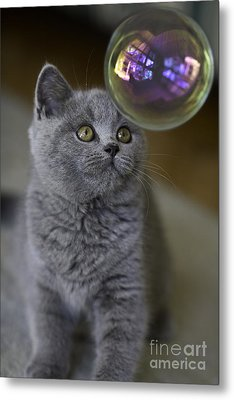 Archie With Bubble Metal Print by Avalon Fine Art Photography