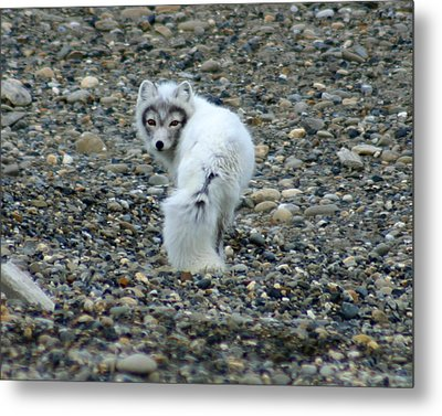 Arctic Fox Metal Print by Anthony Jones