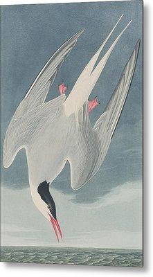 Arctic Tern Metal Print by John James Audubon