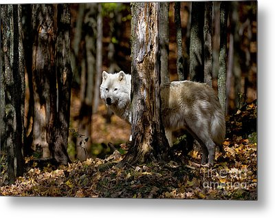Arctic Wolf In Forest Metal Print by Michael Cummings
