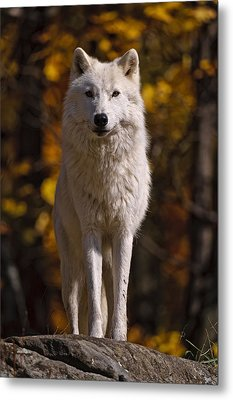Metal Print featuring the photograph Arctic Wolf On Rocks by Michael Cummings