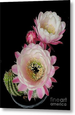 Arizona Desert Cactus Flowers Metal Print by Merton Allen