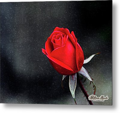 Artists Red Rose Metal Print by William Havle