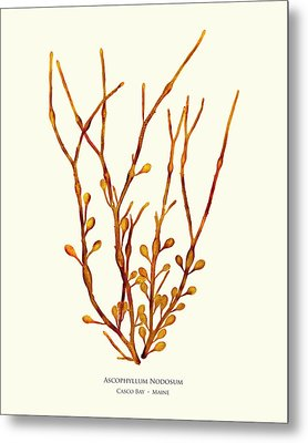 Ascophyllum Nodosum, Casco Bay, Maine Metal Print