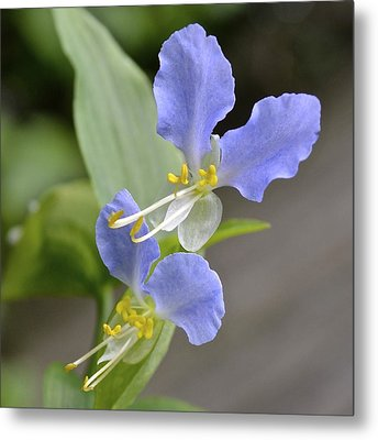 Virginia Dayflower Pair Metal Print