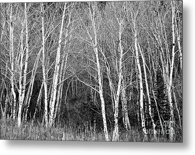 Aspen Forest Black And White Print Metal Print