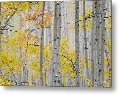 Aspen Forest Texture Metal Print by Leland D Howard