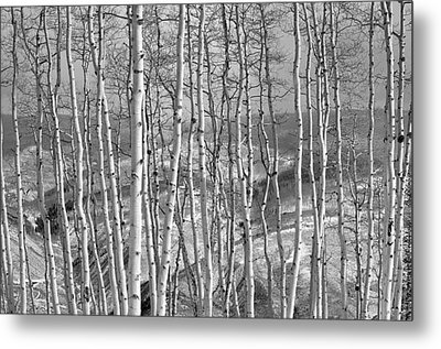 Aspen Stand In Black And White Metal Print by Kevin Munro
