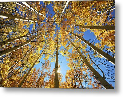 Aspen Tree Canopy 2 Metal Print by Ron Dahlquist - Printscapes