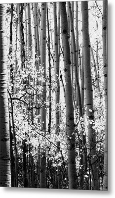 Aspen Trees Black And White Metal Print by The Forests Edge Photography - Diane Sandoval
