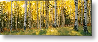Aspen Trees In A Forest, Coconino Metal Print by Panoramic Images