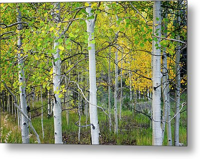 Aspens In Autumn 6 - Santa Fe National Forest New Mexico Metal Print