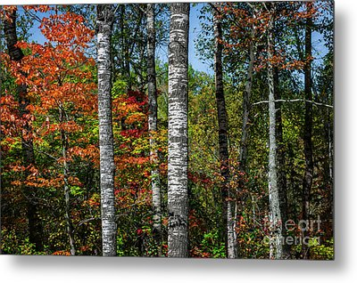 Aspens In Fall Forest Metal Print by Elena Elisseeva