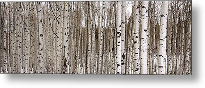 Aspens In Winter Panorama - Colorado Metal Print by Brian Harig