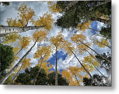 Metal Print featuring the photograph Aspens Reaching by Kevin Munro