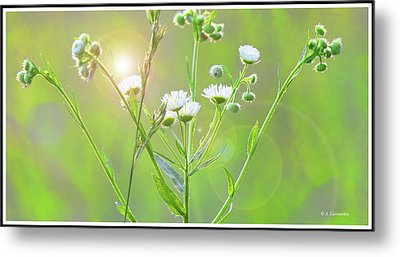 Asters At Sunset Metal Print by A Gurmankin