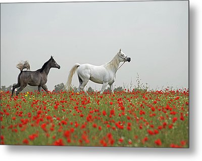 At The Poppies' Field... Metal Print by Dubi Roman