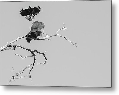 Attack On A Buzzard Metal Print by Carolyn Dalessandro