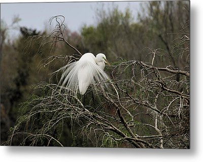 Attractive Plumage Metal Print
