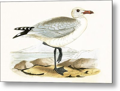 Audouin's Gull Metal Print by English School