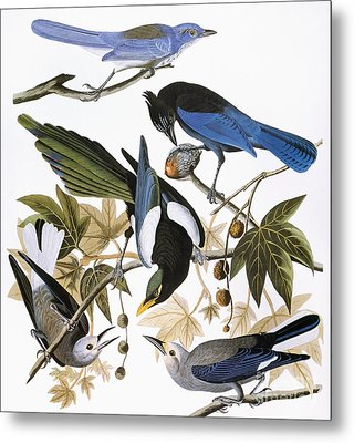 Audubon: Jay And Magpie Metal Print by Granger