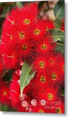 Australian Red Eucalyptus Flowers Metal Print by Joy Watson