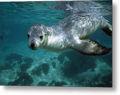 Australian Sea Lion Neophoca Cinerea Metal Print by Hiroya Minakuchi