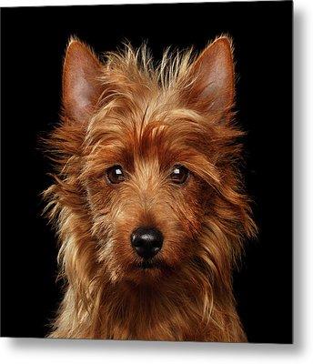 Australian Terrier Metal Print by Sergey Taran