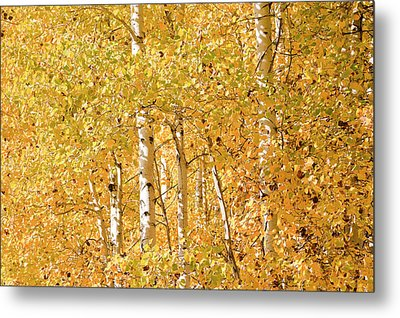autumn aspen leaves Populus tremuloides Metal Print by Ed Book