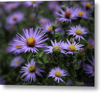 Autumn Asters Metal Print by Jessica Jenney