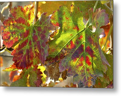 Metal Print featuring the photograph Autumn At Lachish Vineyards 2 by Dubi Roman