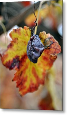 Metal Print featuring the photograph Autumn At Lachish Vineyards 5 by Dubi Roman