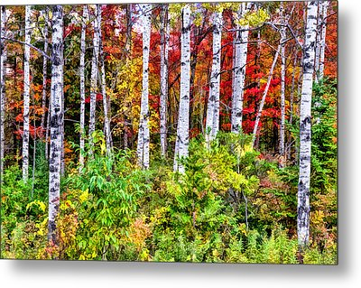 Metal Print featuring the painting Autumn Birches by Christopher Arndt
