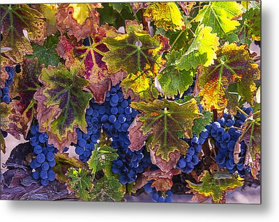 autumn Grapes Metal Print by Garry Gay