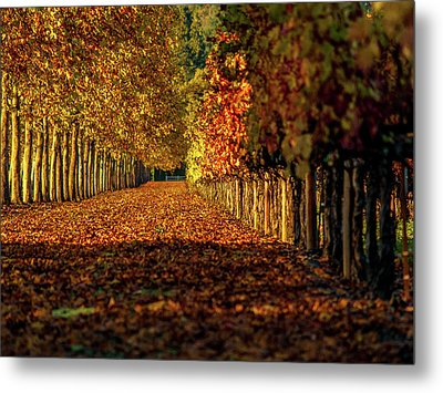 Metal Print featuring the pyrography Autumn In Napa Valley by Bill Gallagher