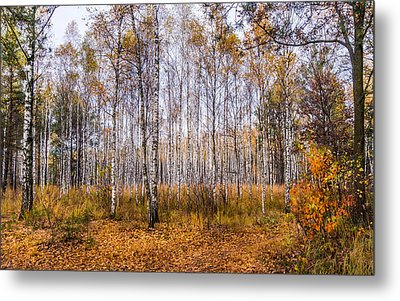 Autumn In The Birch Grove Metal Print