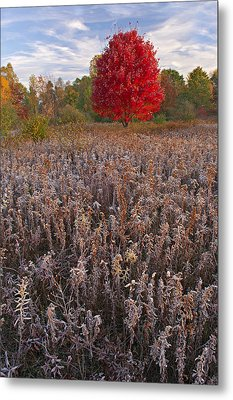 Autumn Maple In Frosted Meadow Metal Print by Dean Pennala