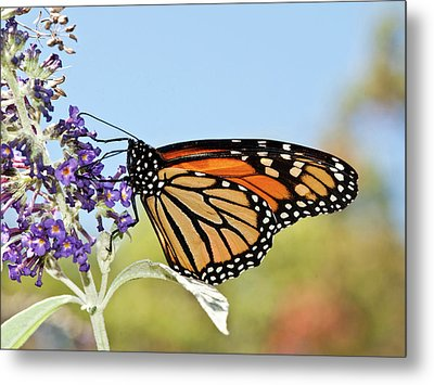 Metal Print featuring the photograph Autumn Monarch Butterfly 2016 by Lara Ellis