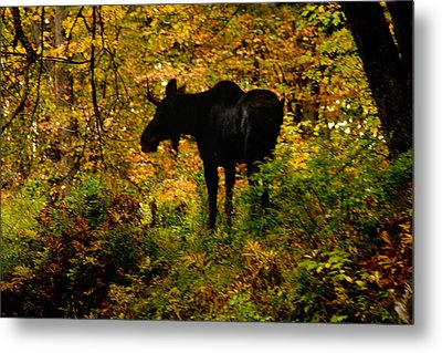 Autumn Moose Metal Print by Brent L Ander