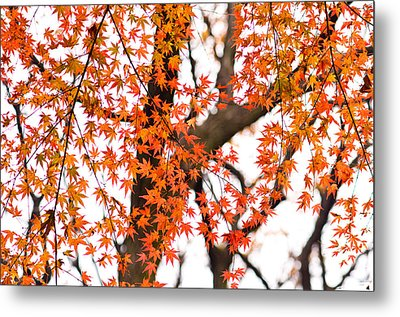 Autumn Red Leaves On A Tree   Metal Print by Ulrich Schade