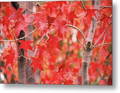 Autumn Reds Metal Print