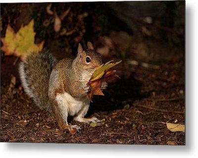Autumn Squirrel Metal Print by Matt Malloy