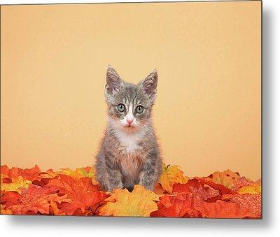 Autumn Tabby Kitten Metal Print