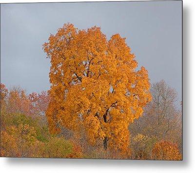 Autumn Tree Metal Print by Donald C Morgan