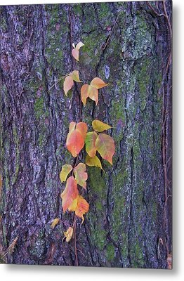 Autumn Vine Leaves On Tree Trunk    Indiana Metal Print by Rory Cubel