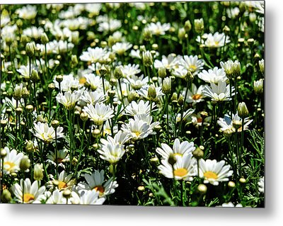 Metal Print featuring the photograph Avalanche Sun Daises by Monte Stevens