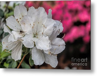 Metal Print featuring the photograph Azaleas In Turtle Creek by Diana Mary Sharpton
