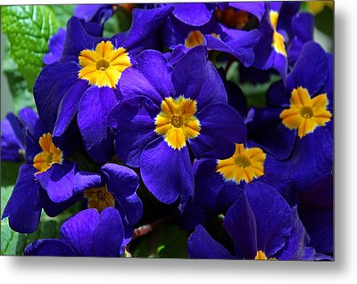 Metal Print featuring the photograph Azure Primrose by Michiale Schneider